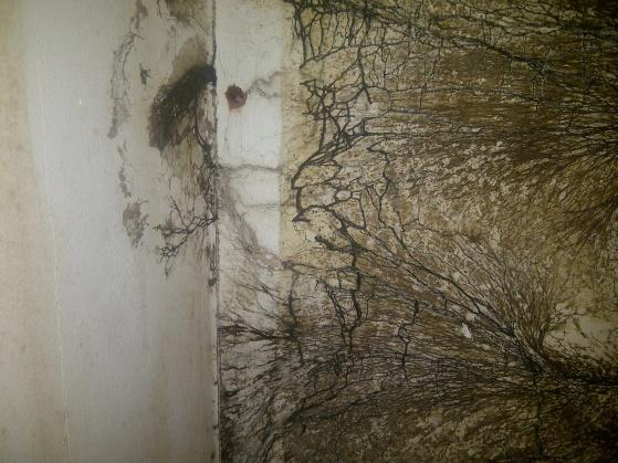 Photo of rhizomorphs found behind insulation lining